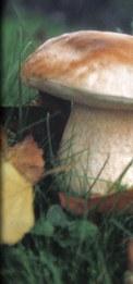 Funghi Porcini di Borgotaro IGP _Mushrooms